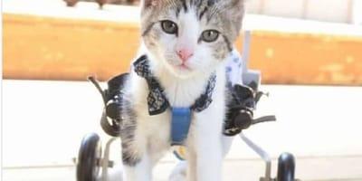 gatto-paralizzato-con-sedia-a-rotelle