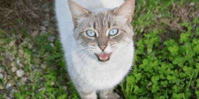 Perché i gatti miagolano: niente più segreti con Micio!