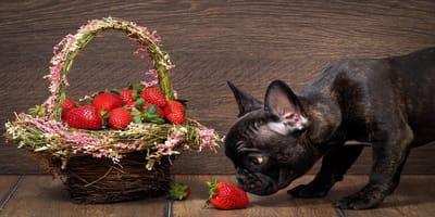 I cani possono mangiare le fragole?