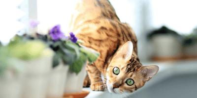 <p>Venite a scoprire con noi il gatto tigre.</p>