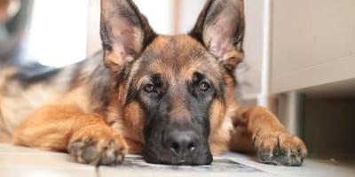 cane triste sdraiato al pavimento