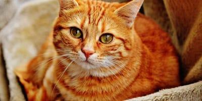 gatto rosso fissa l'obiettivo