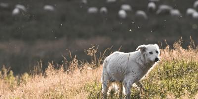 White dog in a field