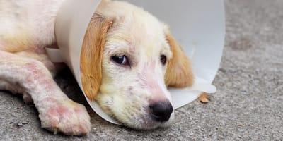 an-raeude-erkrankter-hund-mit-schutz-um-kopf