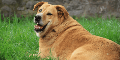What is the best treatment of Cushing's Disease in dogs?