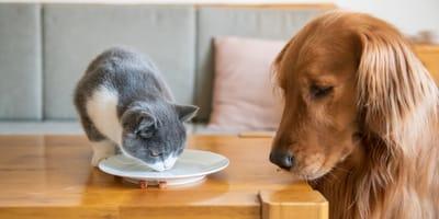 hund-schaut-kitten-beim-fressen-zu