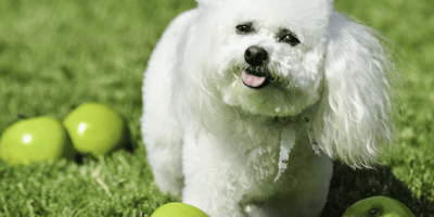 White poodle with green apples