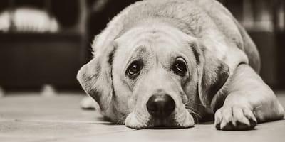 Depresión en el perro: cómo detectarla y tratarla