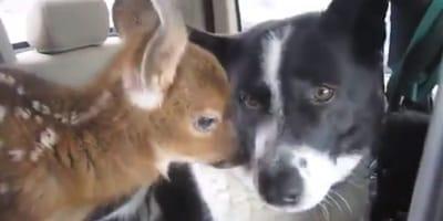 Un cervatillo huérfano encuentra consuelo en los brazos de un cariñoso perro (Vídeo)