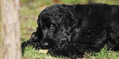 black-dog-eating