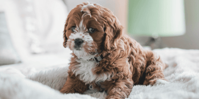 Become an expert: Training a puppy to behave at home
