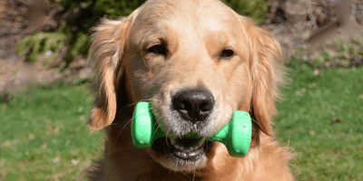 Golden-retriever-with-green-toy-in-mouth