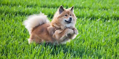 Elo Hund: Charakter, Pflege, Ernährung und Kauf des Eloschaboro-Mischlingshundes