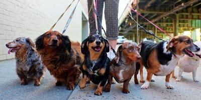 Dog walker: poznaj zawód wyprowadzacza psów!