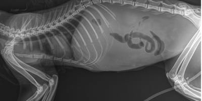 röntgen-aufnahme-von-an-fip-erkrankter-katze