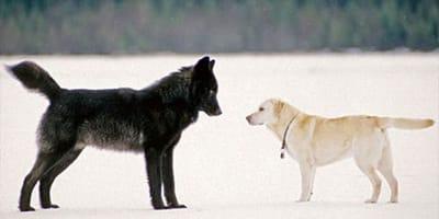 perro lobo con labrador