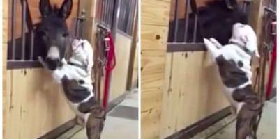benglish bulldog kissing donkey in stables
