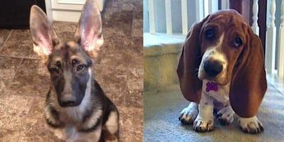 cachorros con orejas grandes