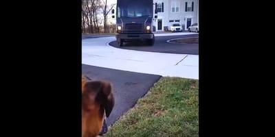 Boxer espera al repartidor: cuando el camión para, sucede lo mejor (Vídeo)