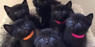 gatitos bebes negros como panteras