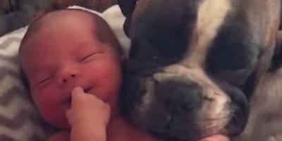 boxer acurrucada junto a bebe recien nacido