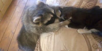 un mapache y un gato