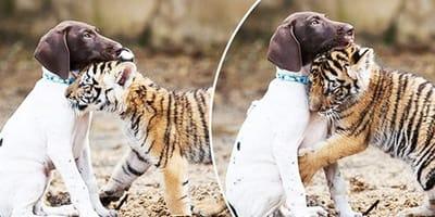 Bebé tigre rechazado por su mamá: una perrita muy especial le salva la vida