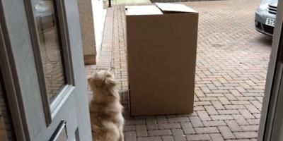 perra golden esperando su sorpresa
