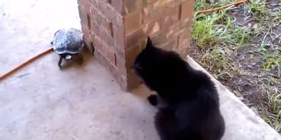 gato negro con tortuga