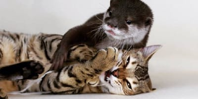 bengal cat playing with baby otter