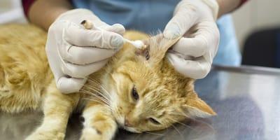 Milben bei der Katze erkennen und behandeln