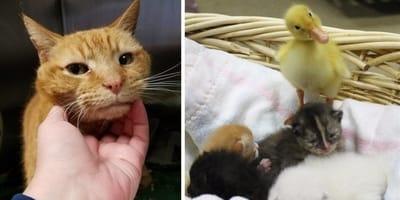gatitos con patitos adoptados
