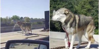 perro atado a un camion