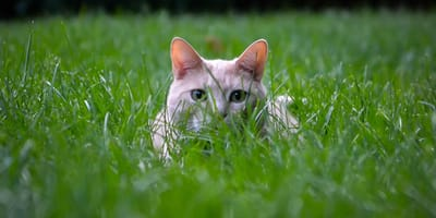 ¿Por qué los gatos comen hierba? El veterinario responde