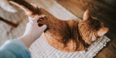 significado movimientos cola del gato