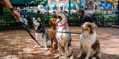 ¿Qué son los ladridos y por qué mi perro ladra tanto?