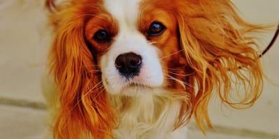 Cavalier King Charles Spaniel el mejor perro