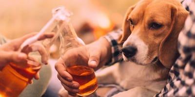 perro mirando una cerveza