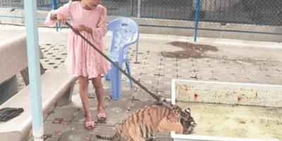 bebe tigre como mascota
