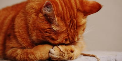 ¿Por qué mi gato no quiere comer y está decaído?