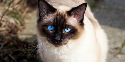 Los gatos siameses y sus problemas de salud