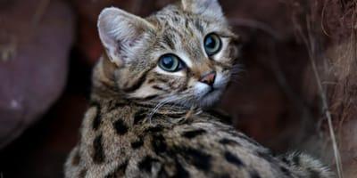 El Felis Nigripes un animal solitario y nocturno