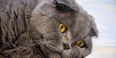 gato con efermedad respiratoria