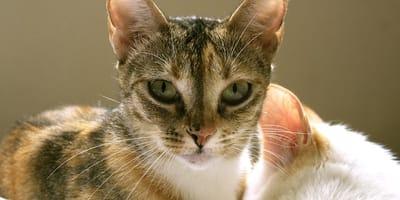7 enfermedades comunes en gatos ancianos que deberías conocer