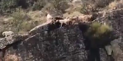 Doce perros se despeñan por culpa de un cazador (vídeo)