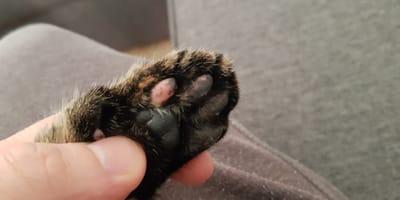 Pasos a seguir para cortar las uñas a tu gato correctamente