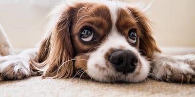 Perro con los ojitos tristes