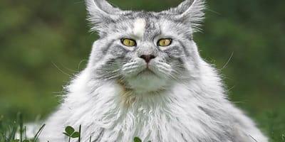 10 Fotos de gatos Maine Coon que explican por qué son los más buscados