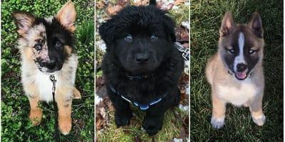 las mejores razas cruzadas de perros