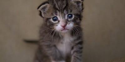 gatito enfermedad orejas